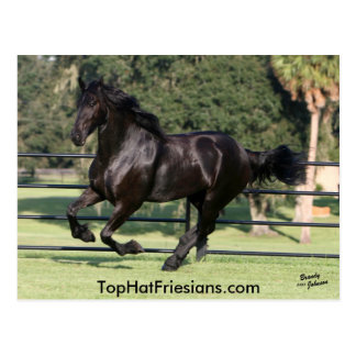 Top Hat Friesians Postcard