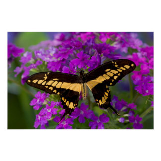 Top of a swallowtail butterfly poster