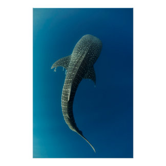 Top view of a Whale Shark Poster