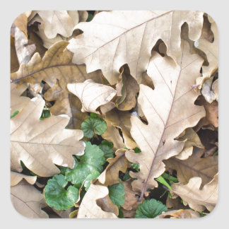Top view of the fallen oak leaves square sticker