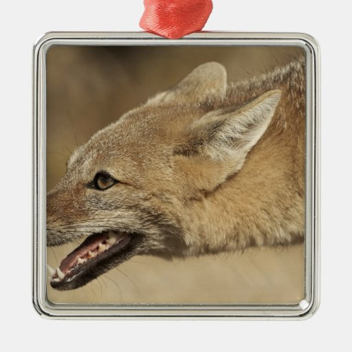 Torres del Paine, Chile. Patagonian Gray Fox, Christmas Tree Ornaments