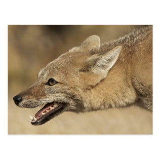 Torres del Paine, Chile. Patagonian Gray Fox, Postcard