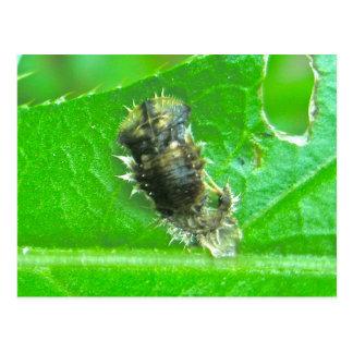 Tortoise Beetle Larva Insect Postcard