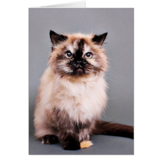Tortoise Himalayan Cat Portrait Photo Card