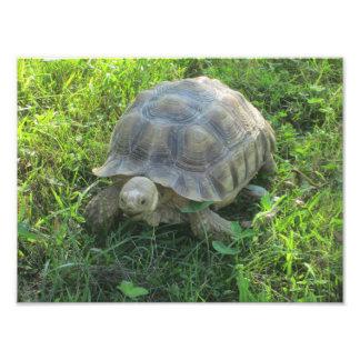 Tortoise in Grass Photo Art