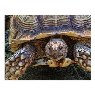Tortoise Photo Postcards