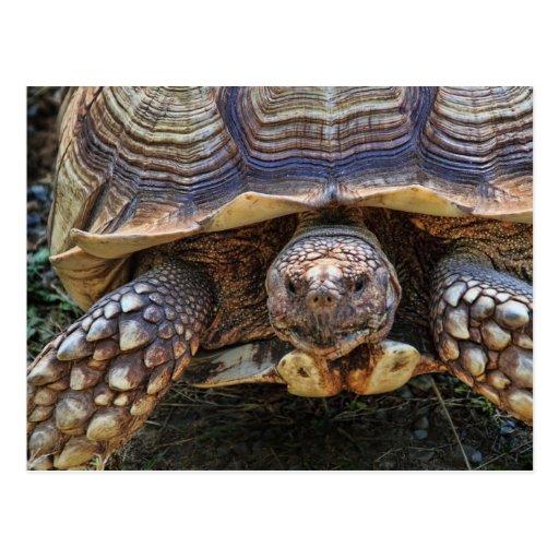 Tortoise Photo Postcards