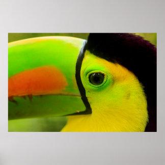 Toucan face close up, Belize Poster