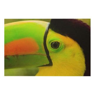 Toucan face close up, Belize Wood Print