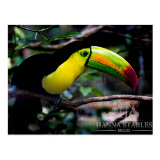Toucan in Belise Postcard