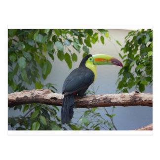 Toucan Photo Postcard