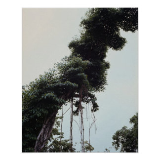 Towering tree and vines in jungle posters