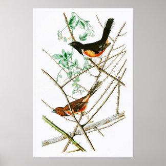 Towhe Bunting John James Audubon Birds of America Poster