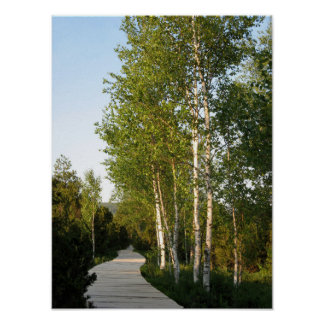 Trail in birch grove posters
