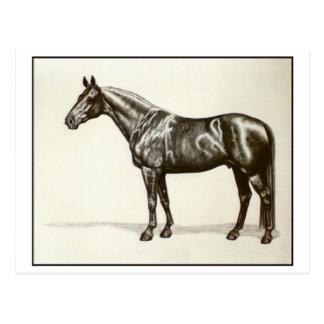 Trakehner Stallion Postcard