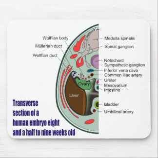 Transverse Section of Human Embryo 9 Weeks Old Mouse Pad