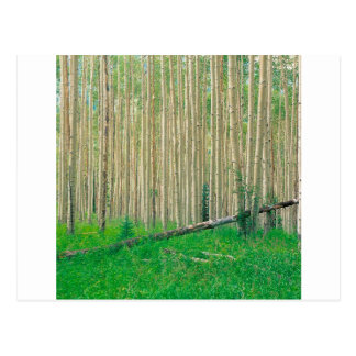 Tree Aspen Grove Colorado Postcard