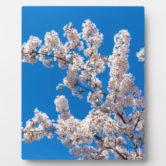 Tree branches with blooming white flowers display plaque