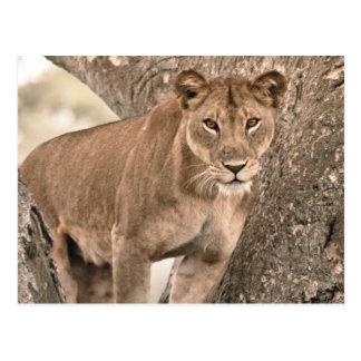 Tree-climbing lion, Uganda Africa Postcard