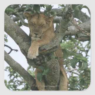 Tree climbing lioness (Panthera leo), Queen Square Sticker
