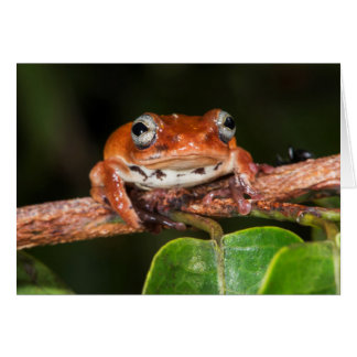Tree frog, Lango Bai, Congo Card