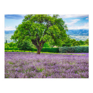 Tree in Lavender Field, France Postcard