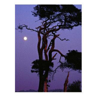 Tree in moonlight, Salisbury Plain, Wiltshire, Eng Postcards