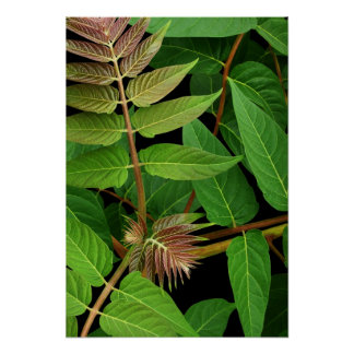Tree of Heaven Leaves Poster