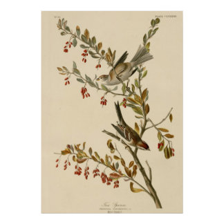 Tree Sparrow Poster