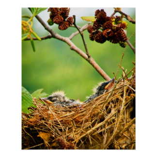 Tree Swallow Fledglings Sleeping In Nest Poster