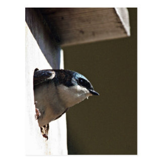 Tree Swallow Profile in Nest Box Post Card