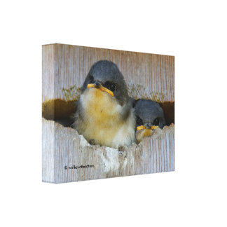 Tree Swallows Looking Out at the Big Wide World Canvas Print
