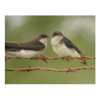 Tree Swallows Postcard