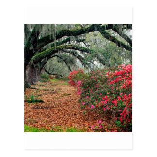 Trees Azaleas Oaks Magnolia Charleston Postcards