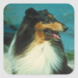 Tri-Colored Collie Rough Coat Square Sticker
