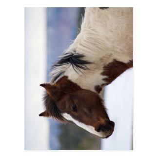 Tri-Colored Horse Postcard