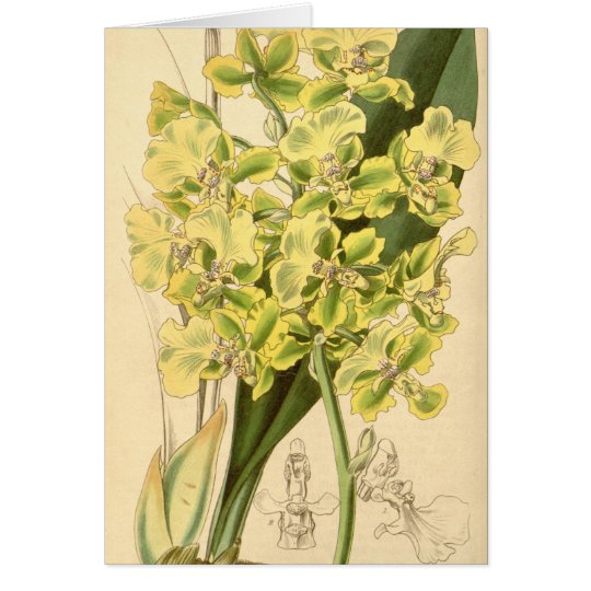 Trichocentrum bicallosum (as Oncidium bicallosum) Card