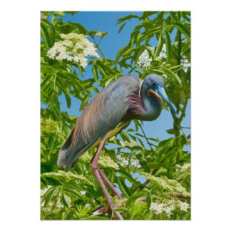 Tricolored Heron in a Tree Print