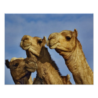 Trio of camels, camel market, Cairo, Egypt Poster