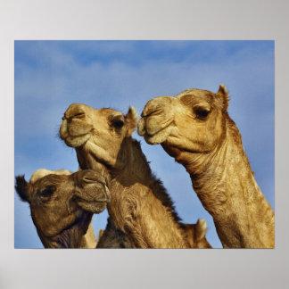 Trio of camels camel market Cairo Egypt Print