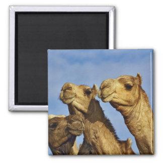 Trio of camels, camel market, Cairo, Egypt Square Magnet