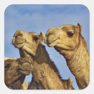 Trio of camels, camel market, Cairo, Egypt Square Sticker