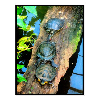 Trio of Turtles Walk The Plank Postcard