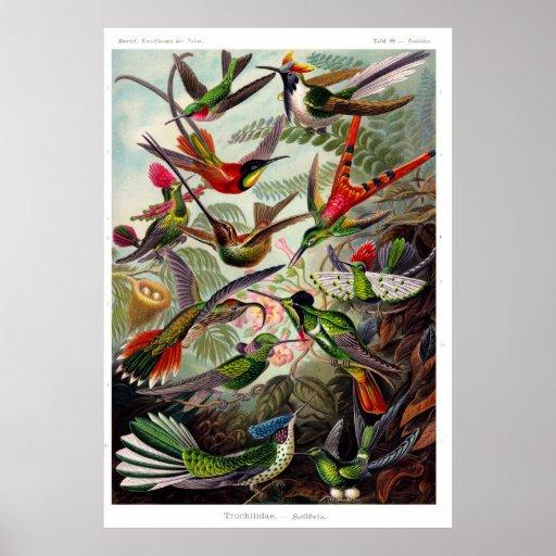 Trochilidae (Hummingbird) Poster