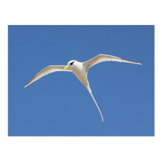 Tropic bird postcard
