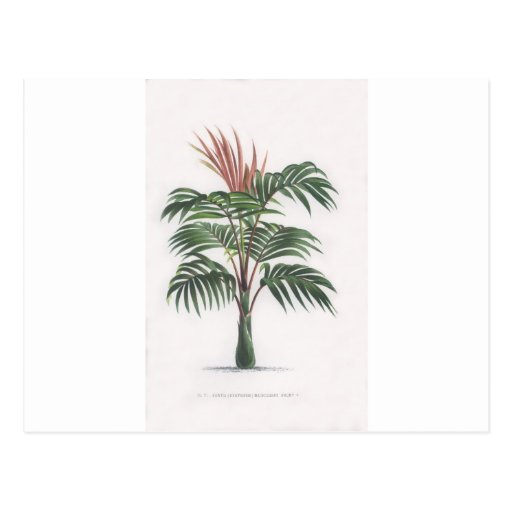 tropical palm tree collection - drawing V Postcard   Zazzle  Hawaiian Palm Tree Drawings