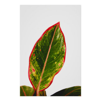 Tropical Plant Red Aglaonema Wall Art Photo Poster
