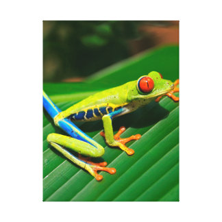 Tropical rainforest green red-eyed tree Frog Canvas Print