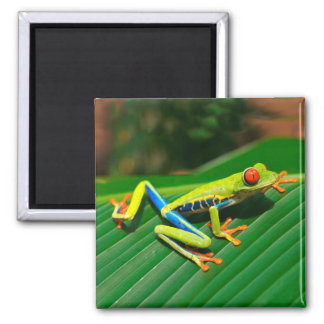 Tropical rainforest green red-eyed tree Frog Magnet