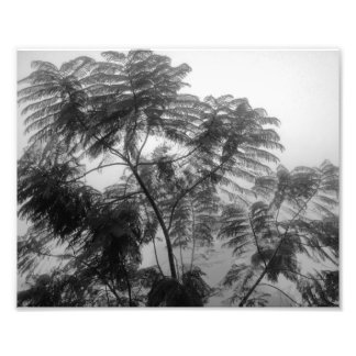 Tropical Tree Black and White in fog Photograph